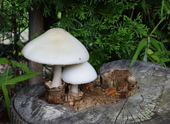 mushroom 013 (jmunt) Tags: mushroom fungi