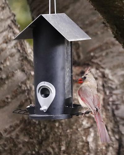 Dilute plumage female cardinal on neighbor's bird-feeder