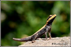 8901 - peninsular rock agama, Yelagiri Hills (chandrasekaran a 61 lakhs views Thanks to all.) Tags: peninsular rock agama lizard reptiles yelagiri nature tamilnadu india canon60d tamronsp150600mmg2 rockagama