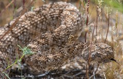 A not so happy rattler (Photosuze) Tags: snakes speckledrattlesnakes reptiles animals venomous coiled tongue nature wildlife predators