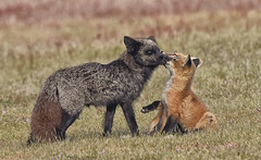 1497-1smNET (torriejonvik) Tags: fox red adult vixen kits cub love pacific northwest washington state
