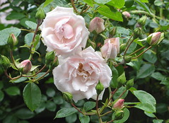 Du, dem Johannes dort voran (amras_de) Tags: rose rosen ruža rosa ruže rozo roos arrosa ruusut rós rózsa rože rozes rozen roser róza trandafir vrtnica rossläktet gül blüte blume flor cvijet kvet blomst flower floro õis lore kukka fleur bláth virág blóm fiore flos žiedas zieds bloem blome kwiat floare ciuri flouer cvet blomma çiçek
