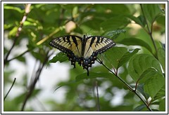 TB8_9108 eastern tiger swallowtail with frame (tbullipoo) Tags: butterfly eastern tiger swallowtail