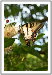 TB8_9049 eastern tiger swallowtail with frame (tbullipoo) Tags: butterfly eastern tiger swallowtail
