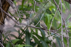 Pacific-Slope Flycatcher (Trent Bell) Tags: malibucreekstatepark california socal 2019 birdwatching bird birding calabasas pacificslopeflycatcher