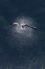 Splash ! ! ! (Michelle w.h. Xu) Tags: osprey shake water blue white black animal westernosprey pandionhaliaetus seahawk riverhawk fishhawk diurnal fisheating birdofprey back light inflight
