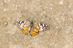 Painted Lady (Trent Bell) Tags: malibucreekstatepark california socal 2019 calabasas paintedlady butterfly