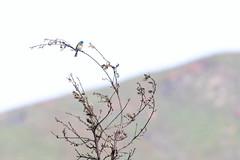 Lazuli Bunting (Trent Bell) Tags: malibucreekstatepark california socal 2019 birdwatching bird birding calabasas lazulibunting