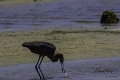 Reddish Egret (davidhewett1964) Tags: reddishegret egrets texas gulfofmexico seashore texascoast