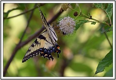 TB8_9111 eastern tiger swallowtail on button bush with frame (tbullipoo) Tags: butterfly eastern tiger swallowtail