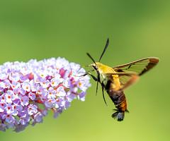 Hummingbird Moth (arlene sopranzetti) Tags: hummingbird moth butterfly bush summer buena new jersey macro insect