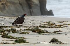 Western Turkey Vulture (Cathartes aura meridionalis), adult DSC_8289 (fotosynthesys) Tags: westernturkeyvulture cathartesaurameridionalis turkeyvulture vulture cathartidae raptor bird california unitedstates