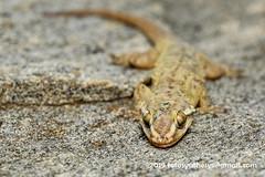 Spotted House Gecko (Hemidactylus parvimaculatus) DSC_2456 (fotosynthesys) Tags: spottedhousegecko hemidactylusparvimaculatus housegecko gecko gekkonidae lizard reptile srilanka