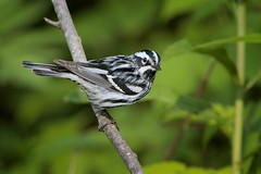 Black-and-white Warbler (Greg Lavaty Photography) Tags: blackandwhitewarbler mniotiltavaria michigan june tahquamenonfalls statepark lucecounty birdphotography upperpeninsula outdoors bird nature wildlife