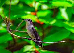 2019-06-16 Patuxent NWR-2944 (By The Bay Photos) Tags: bird birds birding hummingbird maryland md patuxentresearchrefuge nationalwildliferefuge annearundelcounty hummingbirds