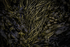 Salad of the Sea (jessicalowell20) Tags: beach bow brown coast contrast green maine newengland northamerica ocean orange seaweed spring texture yellow