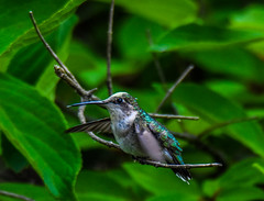 2019-06-16 Patuxent NWR-3252 (By The Bay Photos) Tags: bird birds birding hummingbird maryland md patuxentresearchrefuge nationalwildliferefuge annearundelcounty hummingbirds