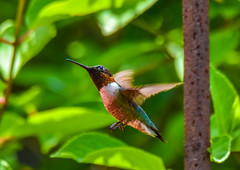 2019-06-16 Patuxent NWR-2887 (By The Bay Photos) Tags: bird birds birding hummingbird maryland md patuxentresearchrefuge nationalwildliferefuge annearundelcounty hummingbirds