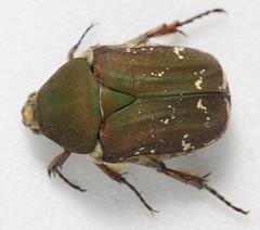Camo green beetle (cotinis) Tags: insect beetle coleoptera scarabaeidae cetoniinae euphoria euphoriaherbacea oliveeuphoria northcarolina piedmont canonefs60mmf28macrousm inaturalist