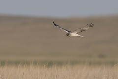 Eastern Marsh Harrier (Sgjyk) Tags: eastern marsh harrier chukh khukh lake mongolia