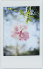 joy (breeze.kaze) Tags: instant film fujiinstaxminifilm tlrcamera mintinstantflextl70 afternoon fine chinesehibiscus flowers red blooming