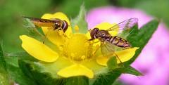 Pair Tiny Bees on Small Yellow Flower -- 1 (mshnaya ☺) Tags: p0tentilla rosacrue yellow potentilla macro flower blossom bee flowerfly fauna flora insect