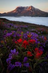 Morning Dew (Hilton Chen) Tags: washington state mount saint helens wildflowers sunrise fog landscape