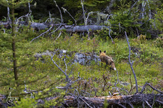 red fox (ats8110) Tags: redfox michigan native wild fox d850 nikon isleroyale