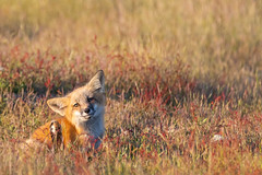 Red Fox Kit (jeff's pixels) Tags: fox kit animal mammal wildlife nature cute babie bird bus train plane nikon