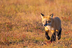 Red Fox Kit (jeff's pixels) Tags: red fox kit animal mammal wildlife nature cute babie bird bus train plane nikon