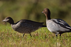 Australian Wood Ducks (Luke6876) Tags: australianwoodducks woodducks ducks bird animal wildlife australianwildlife nature