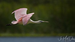 Young Roseate Spoonbill in Flight (QuakerVille) Tags: jonmarkdavey roseatespoonbill fellsmere buecypress spoonie spoonbill pinkbird pink floridabirdviewingtrail melbourne florida unitedstates fl