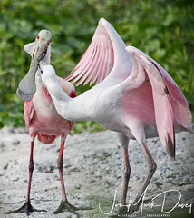 Young Roseate Spoonbills Feeding (QuakerVille) Tags: jonmarkdavey roseatespoonbill fellsmere buecypress spoonie spoonbill pinkbird pink fl