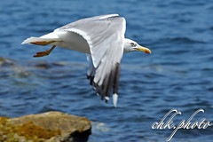 Seagull in Flight, Möwe im Flug (chk.photo) Tags: ocean nature naturewatcher outdoor animal natur naturemasterclass light ngc sainttropez möwe seagull frankreich france tier imflug bird flickrtravellaward vogel flickr meer