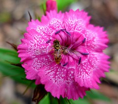 Tiny Bee on Pink Dianthus Blossom    1080983~2 (mshnaya ☺) Tags: bee tiny insect flora flower blossom small nature garden flickr macro spring dianthus