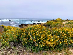 17 Mile Drive (_punit) Tags: monterey 17miledrive yellow summer beach wildflowers