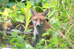 Happy Fox...... (law_keven) Tags: fox foxes redfox foxcub catford london england wildlife wildlifephotography photography urbanfox urbanredfoxcub