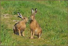 Lièvre d'Europe ( Lepus europaeus ) (Le Papa'razzi) Tags: lièvredeurope lepuseuropaeus campagne gibier chasse nikkor300mmf4 nikond300s