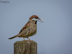 🇬🇧 Sparrow with a white feather. (vickyouten) Tags: vickyouten sparrow wildlife nature wildlifephotography nikon nikond7200 nikonphotography sigma sigma150600mmc bemptoncliffs bridlington uk