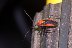 Plant Bug - Taedia (BSendelbach) Tags: insects backyardbugs bugs