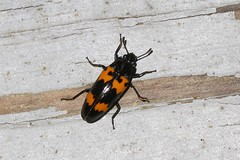 Pleasing Fungus Beetle - Megalodacne heros (BSendelbach) Tags: insects backyardbugs bugs