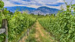 Painted Vineyard (jbarc in BC) Tags: painted impressionism vineyard grapes wine winery naramata penticton bc
