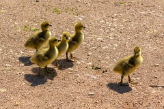 Goslings (Future-Echoes) Tags: 4star 2019 animals birds essex goslings markshall shadows young