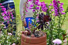 Aeonium (Bri_J) Tags: rhs chatsworthflowershow2019 chatsworthhouse edensor derbyshire uk chatsworth flowershow nikon d7500 aeonium belong longborder succulent cathfletcher