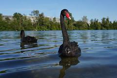 Blacks swans - Cygnes noirs (Sam Photos with Sony native jpeg) Tags: cygnes lyon swan swans cygne river france couple rhône quai black noir noirs