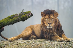 Atlas looking straight at me! (Tambako the Jaguar) Tags: lion big wild cat male lying resting portrait face mane looking straight rock stone posing foggy autumn tree branch walter zoo gossau switzerland nikon d5
