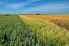 Getreide (Wunderlich, Olga) Tags: getreide feld landschaft rügen insel mecklenburgvorpommern baum wind naturaufnahme