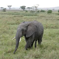 That's not a leg...Kenya and Tanzania, 2019 (jimiwib) Tags: tanzania fifthleg safari kenya masaimara serengeti elephant