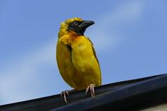 Speke's weaver - Kenya and Tanzania, 2019 (jimiwib) Tags: ngorongoro tanzania weaver bird spekes africa