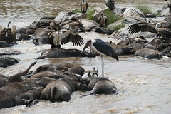 After the migration - Kenya and Tanzania, 2019 (jimiwib) Tags: masaimara marariver carrion crocodile vulture maraboustork wildebeest wildebeestmigration